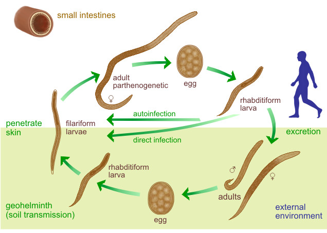 Larva currens infectio - Strongyloidosis geohelminth